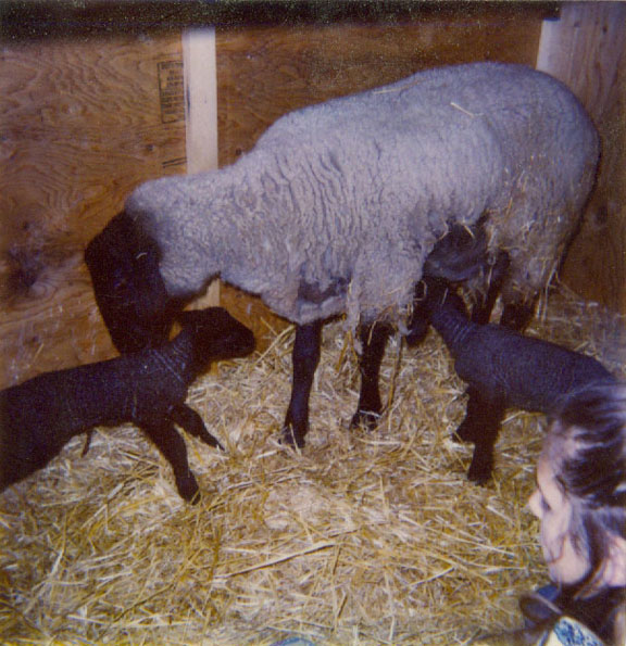 Cindi, a Ewe, and two Lambs