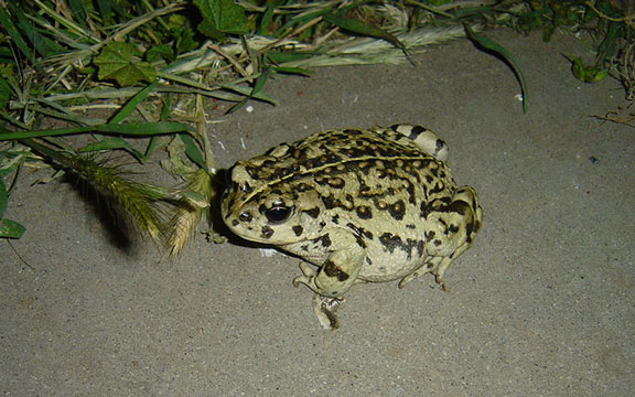Ramona Visitor - Mr. Toad