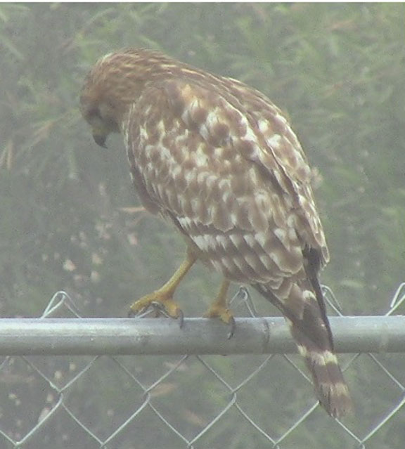 Ramona Visitor - Mr. Redtail Hawk