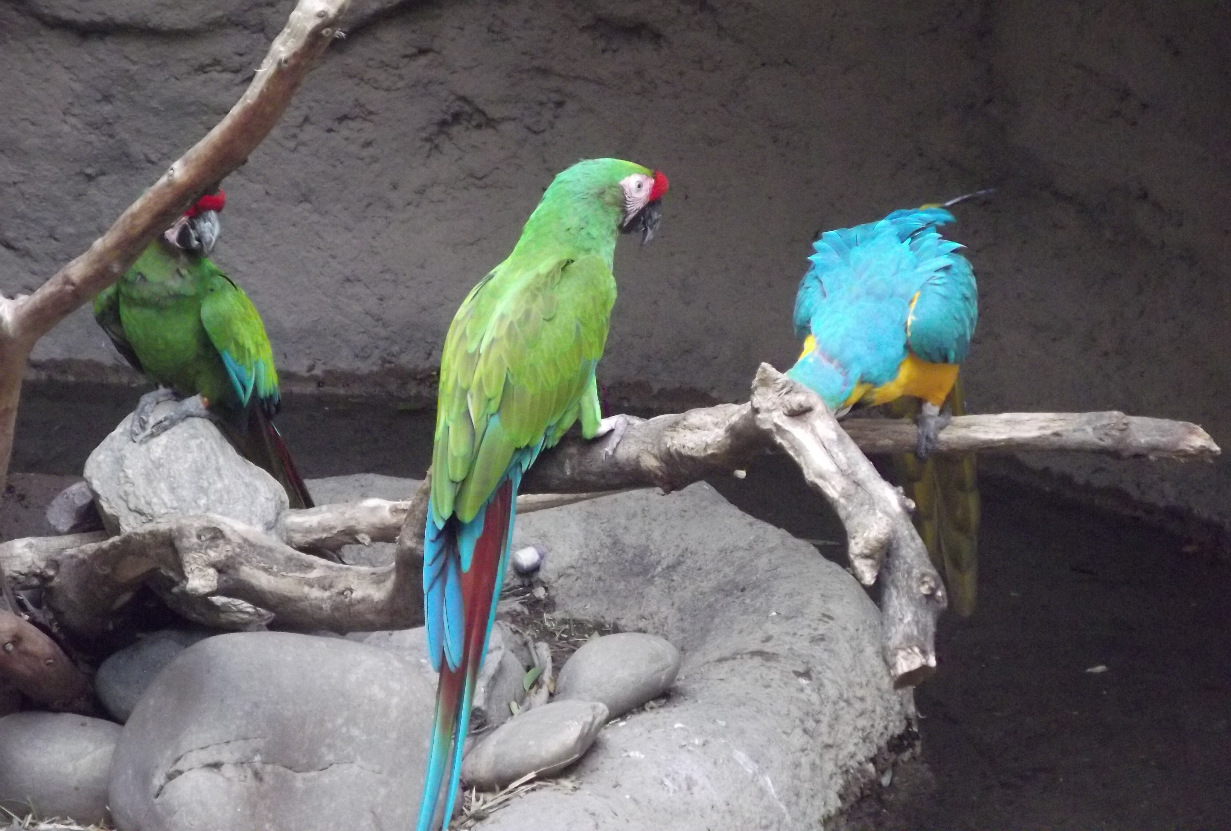 Reid Zoo Blue and Gold Macaw